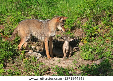 Cyote female and young #1291844365