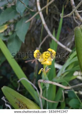 Cypella is a beautiful yellow flower Zdjęcia stock ©