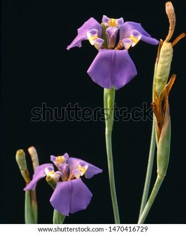 cypella plumbea flower native to Brazil and Uruguay Zdjęcia stock ©