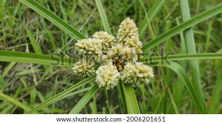 Cyperus luzulae, Zacate de Estrella The bighead, coquito or cutter, Cyperus luzulae is a species of plant of the genus Cyperus Foto stock ©