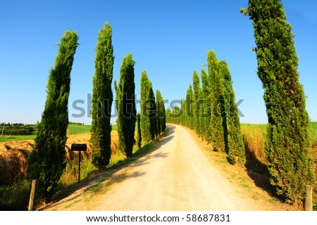 Cypress Alley Leading To The Farmer's House In Tuscany
