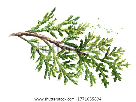 Cypress branch with needles. Hand drawn watercolor illustration, isolated on white background ストックフォト ©