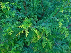 Cypress cedar tree branch. Thuja occidentalis bush is evergreen coniferous tree in cypress family Cupressaceae. Macro cypress & cedar seeds background pattern. Conifer cedar thuja leaf green texture