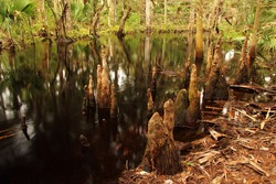 Cypress Knees along scenic Kitching Creek in Jonathan Dickinson State Park, South Florida