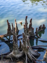Cypress stumps in the swamp