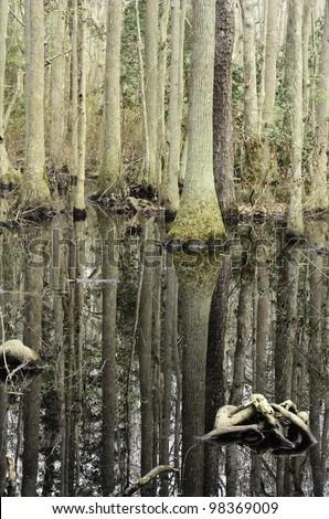 Cypress swamp in First Landing State Park, Virginia Beach, Virginia
