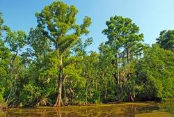 Cypress Swamp in the Louisiana Bayou