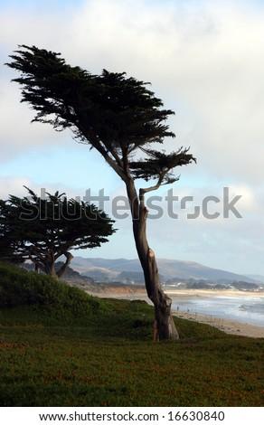 cypress tree half moon bay