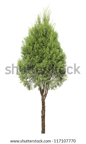cypress tree isolated on white