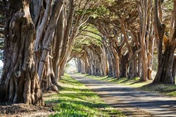 Cypress Tree Tunnel at Point Reyes National Seashore, California, USA