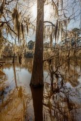 Cypress trees at Caddo Lake State Park, Eastern Texas near Louisiana border
