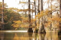 Cypress Trees in a Louisiana Bayou
