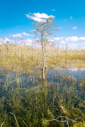 Cypress Trees in Everglades National Park