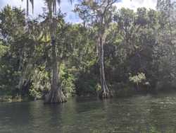 Cypress Trees on Ginnie Springs