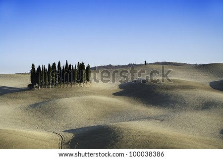 Cypresses on the Tuscany field.