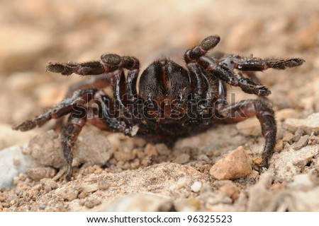 Cyrtauchenius sp. in defense position (rare endemic trapdoor spider)