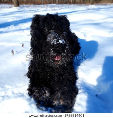 Czarny terier rosyjski piekny pies Zdjęcia stock ©