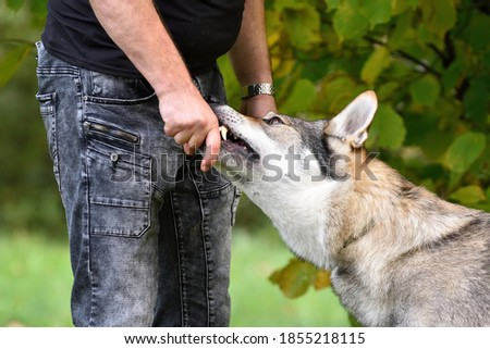 Czechoslovakia wolf dog eats a treat from the breeder's hand. Head detail grey of dog with brown orange eyes and sharp teeth. Working dog training. Foto d'archivio ©
