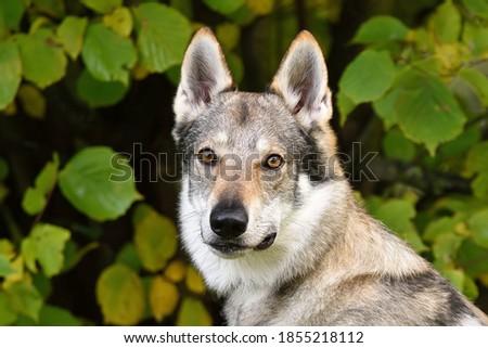 Czechoslovakia wolf dog portrait. Head detail grey of dog with brown orange eyes. Working dog. Сток-фото ©