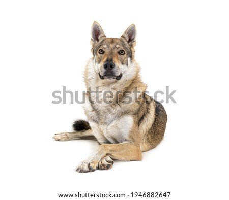 Czechoslovakian Wolfdog arms crossed lying in front Photo stock ©