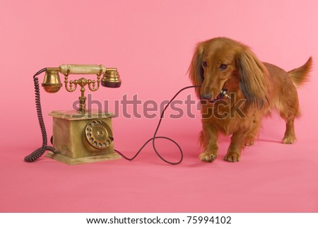 Dachshound with telephon