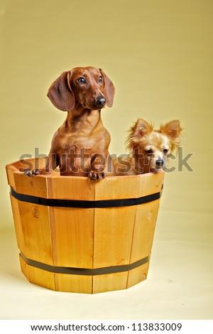 Dachshund and chihuahua - stock photo