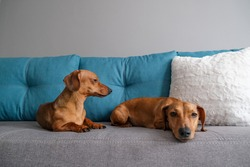 Dachshund and dachshund puppy lying on the sofa. Dog's life at home.