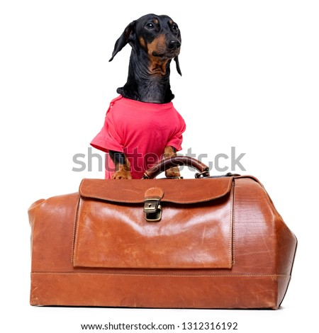 Dachshund breed dog, black and tan, in a cowboy hat and pink t-shirt standing on a vintage suitcase for travel on vacation, isolated on white background