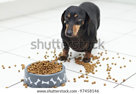 Dachshund breed eating food while making a mess