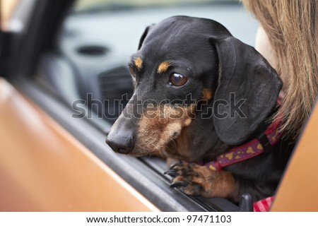 Dachshund breed looking eagerly out of vehicle window