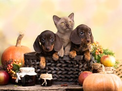 dachshund brovn and tan color and kitten, cat and dog