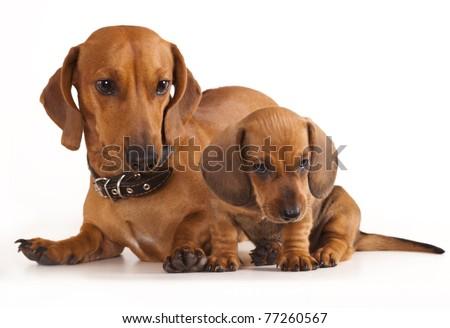 dachshund dog and puppy