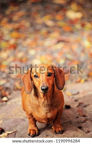 Dachshund dog autumn garden  #1190996284