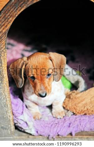 Dachshund dog autumn garden  #1190996293