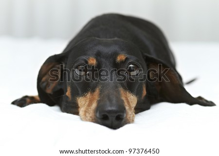 Dachshund dog breed laying flat on white linen