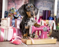 Dachshund dog in a tie and sewing machine, tailor for dogs