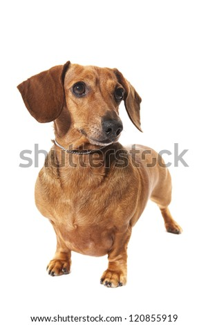 dachshund dog in studio isolated on white background