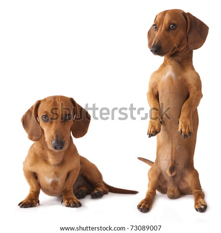 dachshund dog is the vertical bar on its hind legs