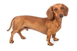 Dachshund Dog isolated over white background.