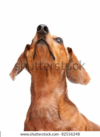 dachshund dog looking to top