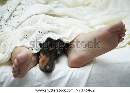 Dachshund dog sleeping between feet