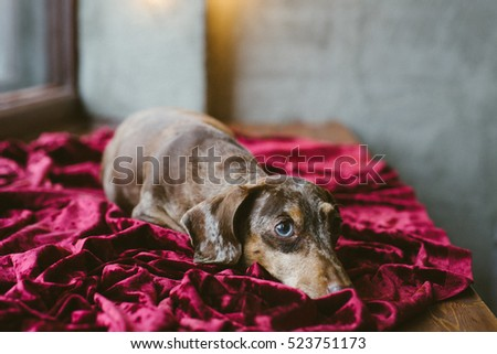 Dachshund dog with Christmas and New year background #523751173