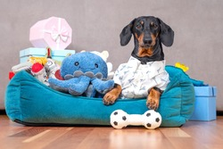Dachshund in festive shirt is lying in pet bed surrounded by pile of toys and gift boxes given for birthday. Selfish dog has collected all toys in its spot and does not want to share, guards them.