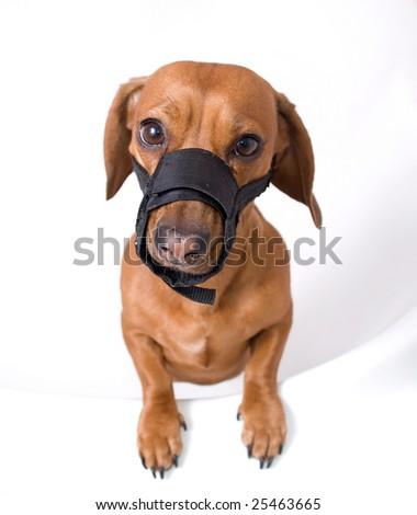 Dachshund in muzzle - stock photo