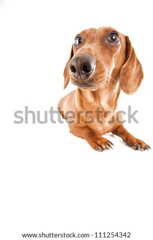 Shutterstock dachshund in the estudio