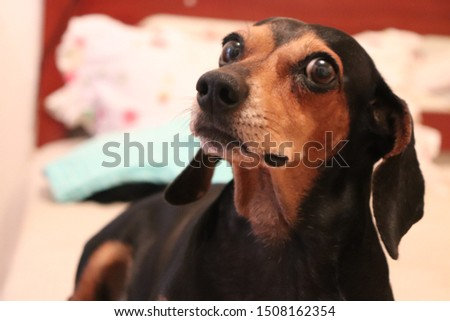 Dachshund is a small and friendly puppy, also popularly known as sausage. He became famous for being a protagonist of television commercials in the 1980s.
