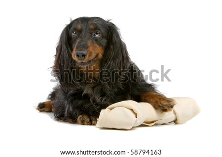 dachshund isolated on white with a huge white bone