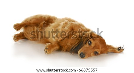 dachshund laying down on side looking at viewer with reflection on white background