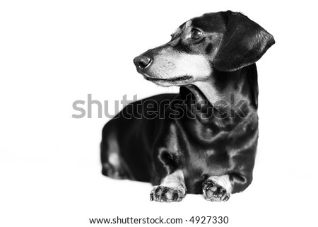 Dachshund looking away from camera