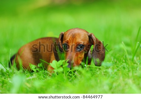 dachshund on green grass